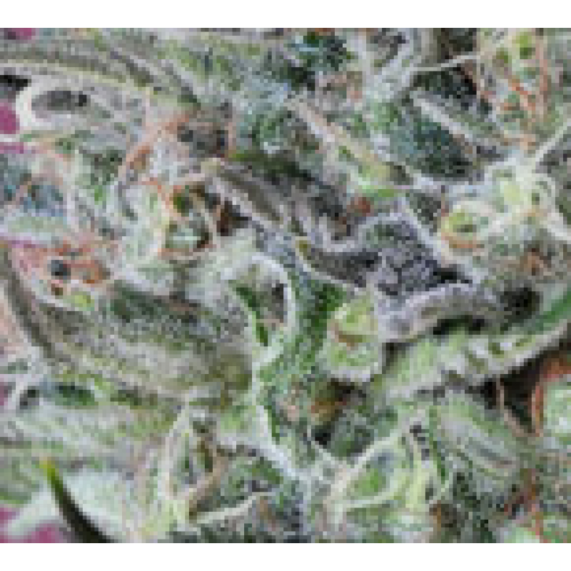 Krystalica Regular Seeds - 10