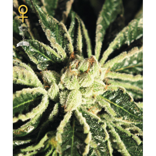 Kaia Kush Feminised Seeds