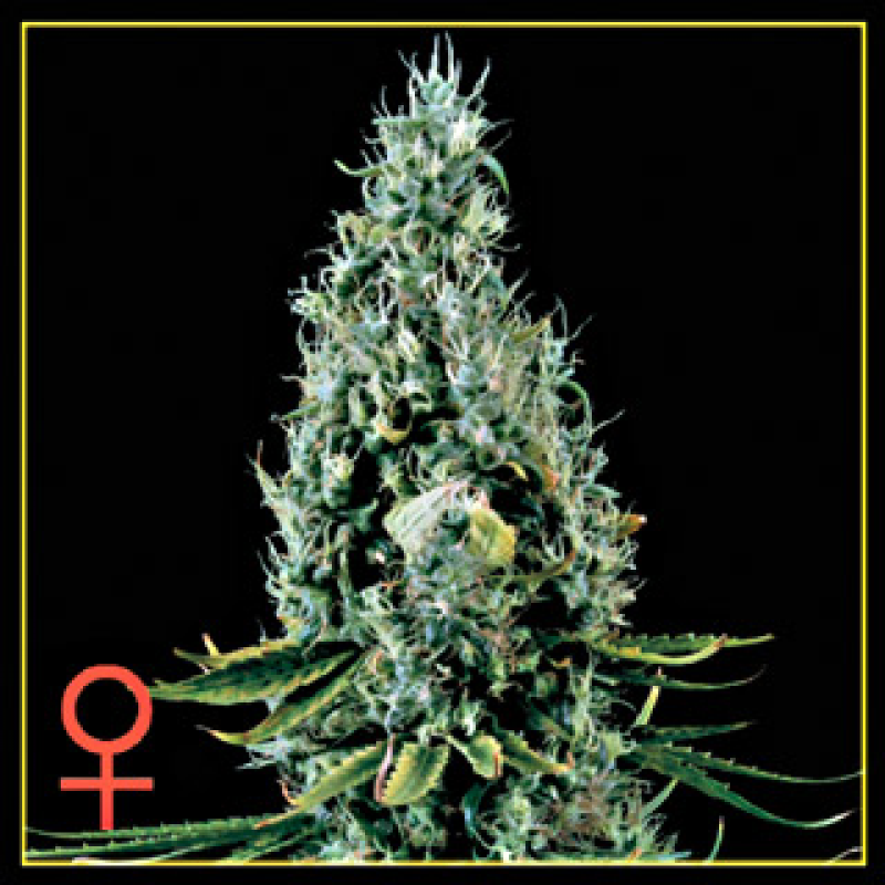 Arjan's Haze #3 Feminised Seeds