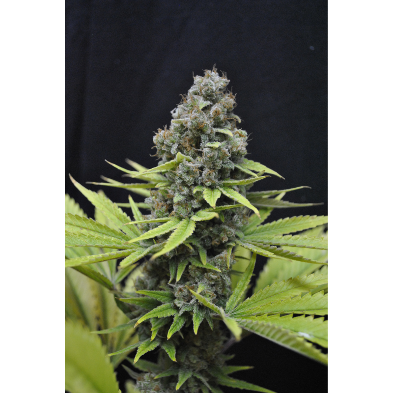 CBD Shark Feminised - 5 Seeds