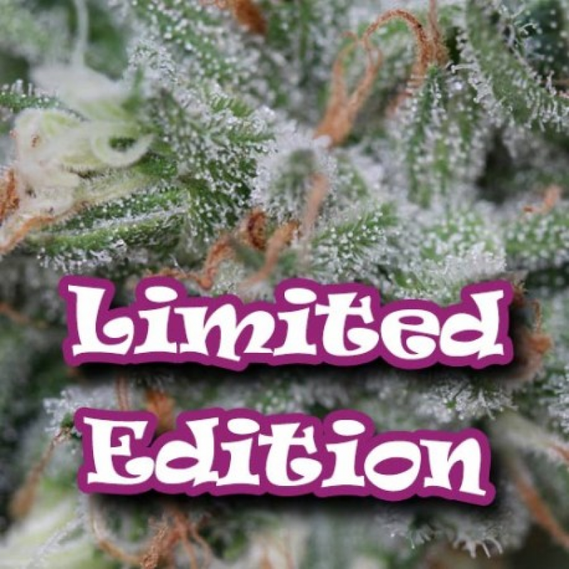 Original Ganster Feminised Seeds - 5