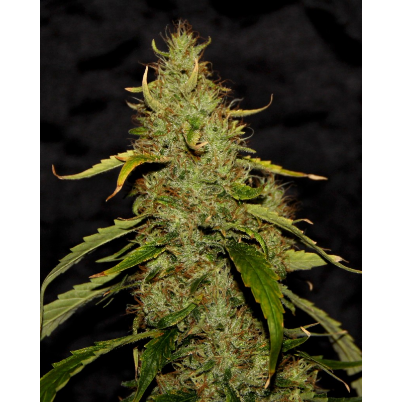 CBD PH Regular Seeds-5