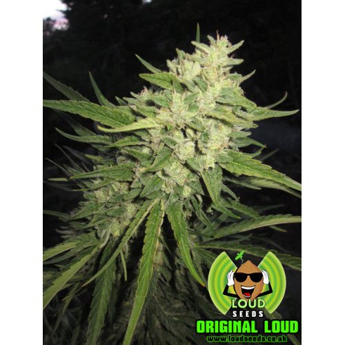 Original Loud Regular Seeds