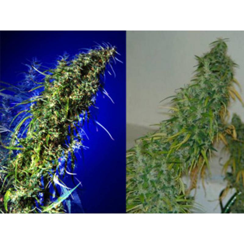 Brainstorm Haze X G13 Regular Seeds - 5
