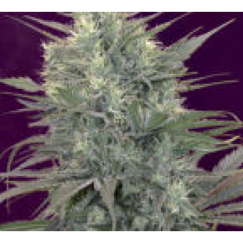 Kalichakra Regular Seeds - 10