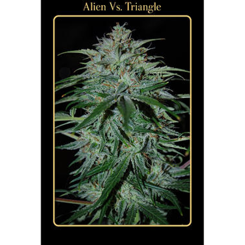 Auto Alien Vs Triangle Feminised Seeds (Limited Edition)