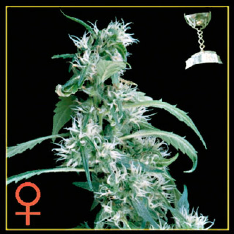 Arjan's Ultra Haze #1 Feminised Seeds