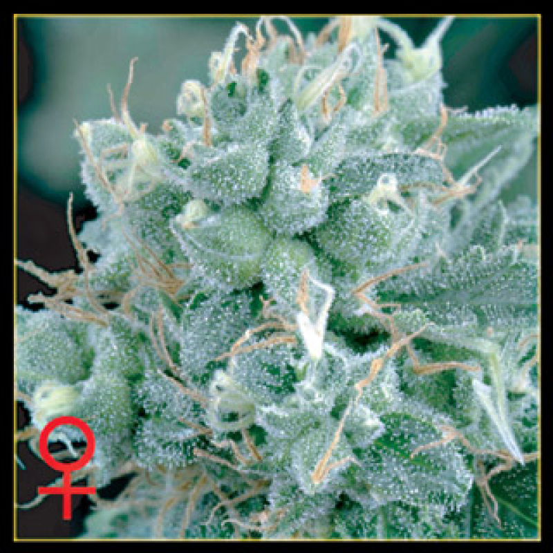 Arjan's Strawberry Haze Feminised Seeds