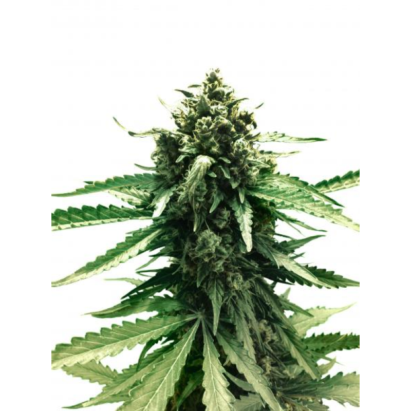 Auto Frisian Dew Feminised Seeds