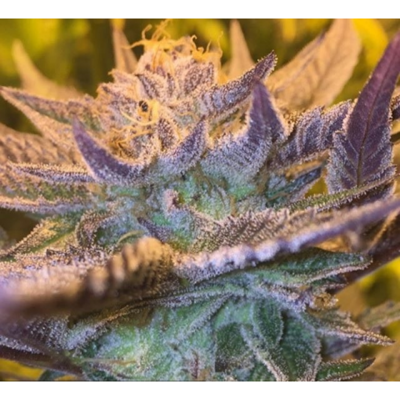 CBD Girl Scout Cookies Feminised Seeds-5