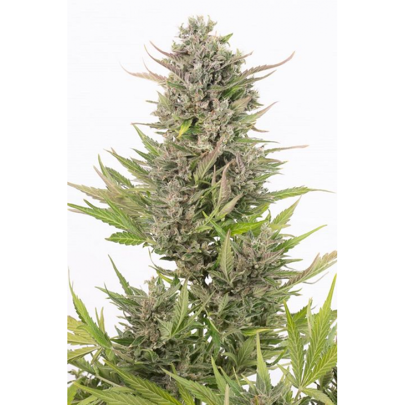 Critical + Auto CBD Feminised Seeds