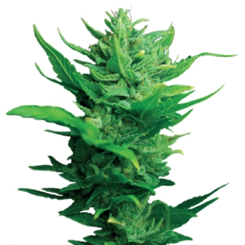 Auto Think Different Feminised Seeds