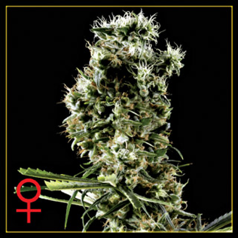 Arjan's Haze #2 Feminised Seeds