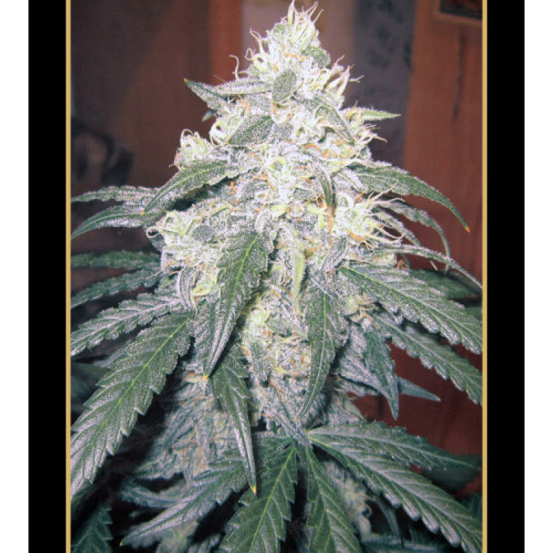Auto Beary White Feminised Seeds (Limited Edition)