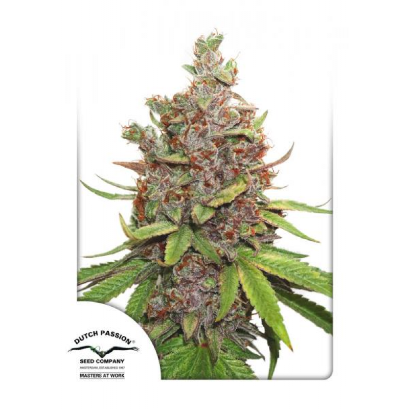 Auto Glueberry O.G. Feminised Seeds