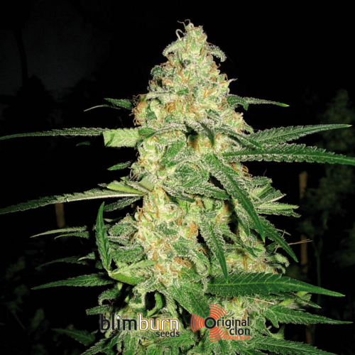 Original Clon Feminised Seeds