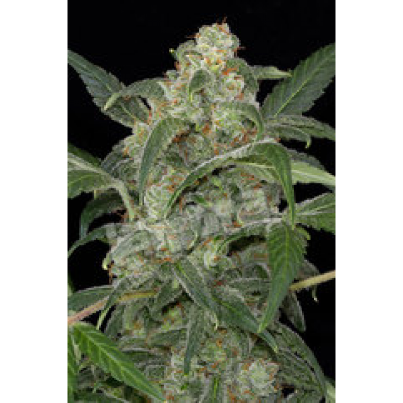 Haze 2.0 Automatic Feminised Seeds
