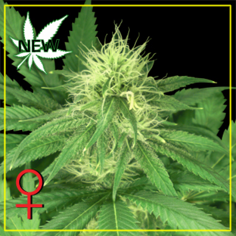 Bubba Kush Feminised Seeds