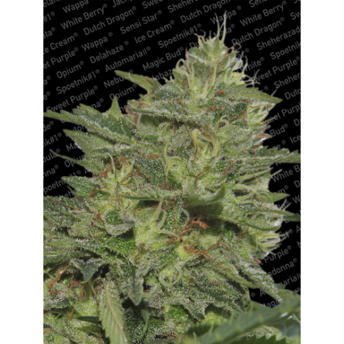 Original Cheese (IBL) Feminised Seeds