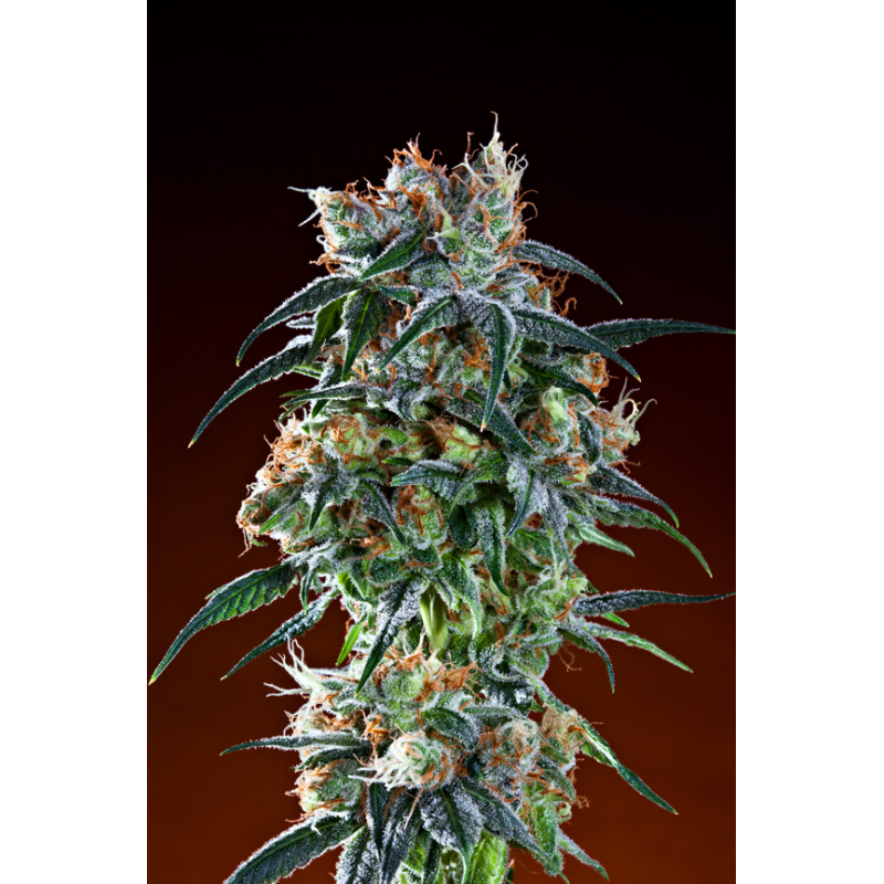 Bay 11 - 10 Regular Seeds